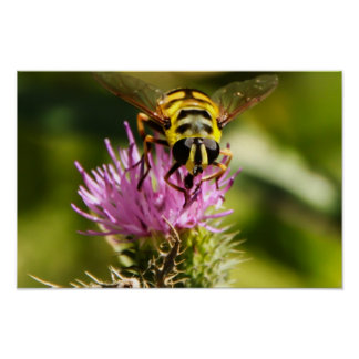 Yellow Bee on Purple Thistle - Poster