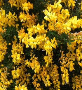 Australian native flowers gifts on zazzle au yellow bell flowers native australian notepad mightylinksfo