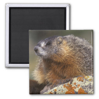 Yellow-bellied Marmot, Yellowstone NP, WY, USA Magnet