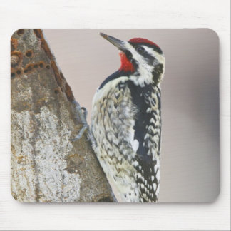 Yellow-bellied Sapsucker male feeding on sap Mouse Pad