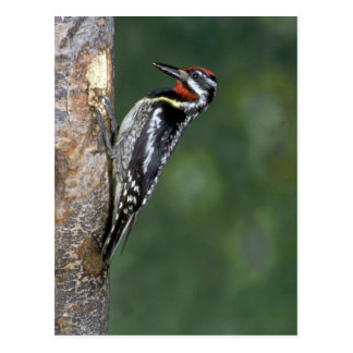 Yellow-bellied Sapsucker (male) Postcard