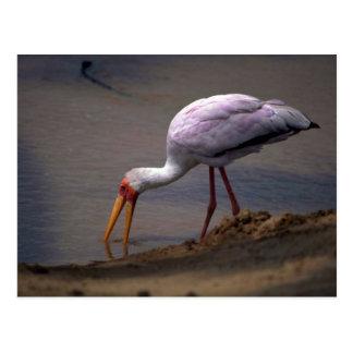 Yellow-billed Stork Postcard