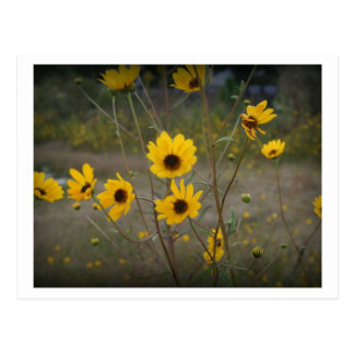 Yellow black Florida Wildflower Photograph Postcard