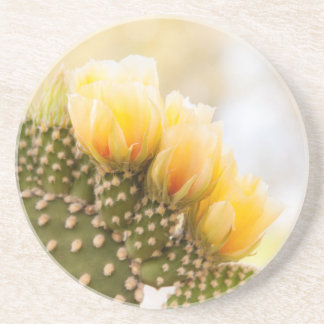 Yellow cactus flowers as they bloom in  Arizona Coaster
