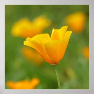 Yellow California Poppy Poster