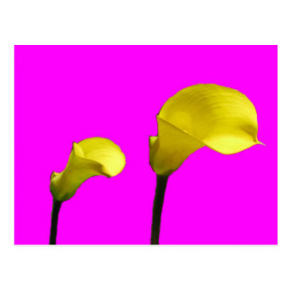 Yellow Calla Lily in Pink Postcard