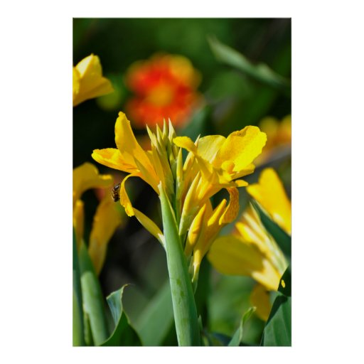yellow Canna in the garden flowering, flower pipe  Posters