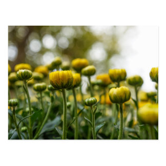 Yellow Chrysanthemum Flower Buds Postcard