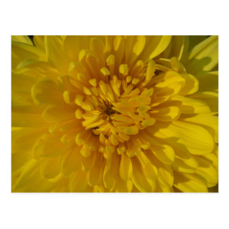 Yellow Chysanthemum Flower Postcard