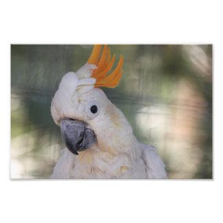 Yellow Crested Cockatoo - Print Photo Print
