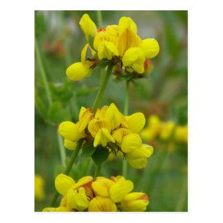 Yellow Crown-vetch, Unalaska Island Postcard