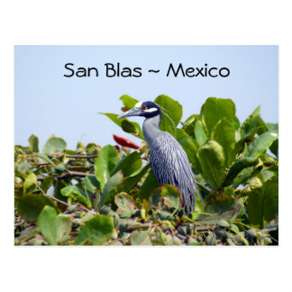 Yellow Crowned Night Heron Postcard