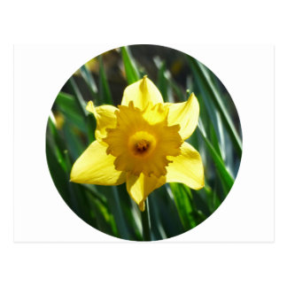 Yellow Daffodil 02.2_rd Postcard
