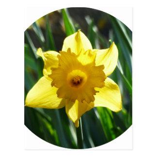 Yellow Daffodil 02.2_rd Postcard
