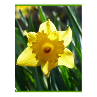 Yellow Daffodil 03.0.g Postcard