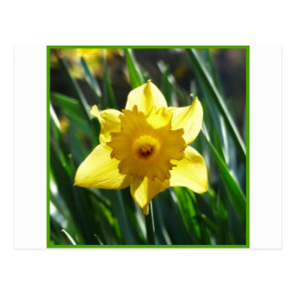 Yellow Daffodil 03.0.g Postcard