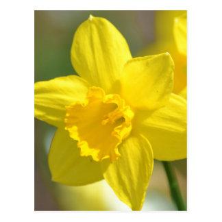 Yellow Daffodil Flower Postcard