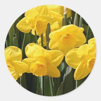 Yellow Daffodil flowers in bloom Sticker