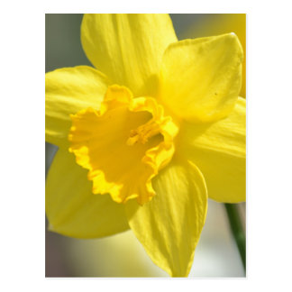 Yellow Daffodil Flowers Postcard