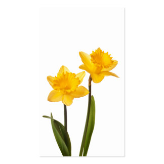 Yellow Daffodils on White - Daffodil Flower Blank Business Card