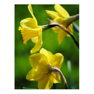 Yellow Daffodils Postcard