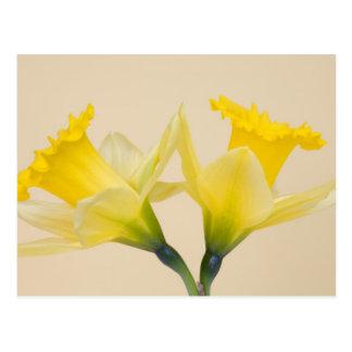 Yellow daffodils postcard