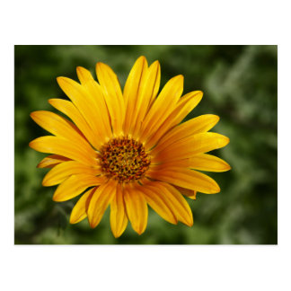 Yellow Daisy Postcard