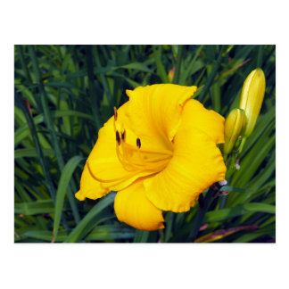 Yellow Daylily 13 Blank Postcard