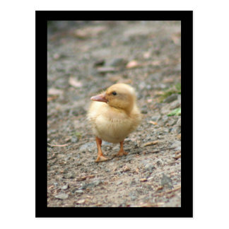 Yellow Duckling postcard