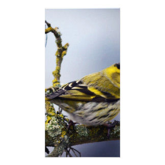 yellow Eurasian siskin on a bare branch in winter Personalized Photo Card