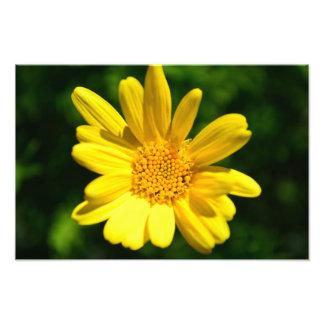 Yellow Euryops Green Flower Photographic Print