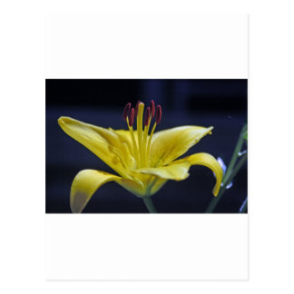 Yellow Flower Lily Postcard