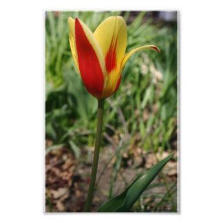 Yellow flower tulip photography print nature art photo print