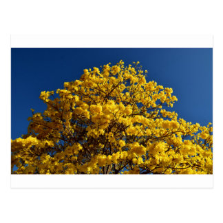 YELLOW FLOWERS QUEENSLAND AUSTRALIA POSTCARD