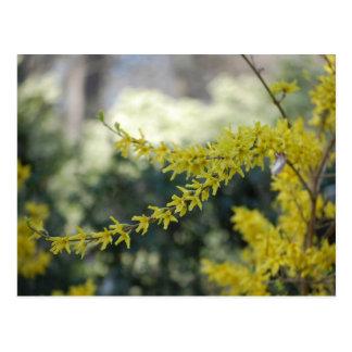 Yellow Forsythia Photo Post Card