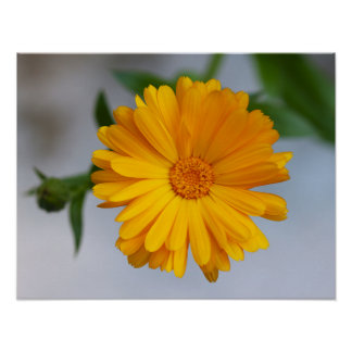Yellow Gerbera Daisy Wildflower Poster