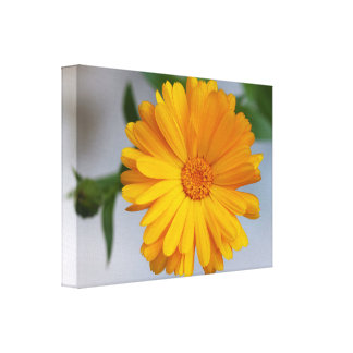 Yellow Gerbera Daisy Wildflower Stretched Canvas Prints