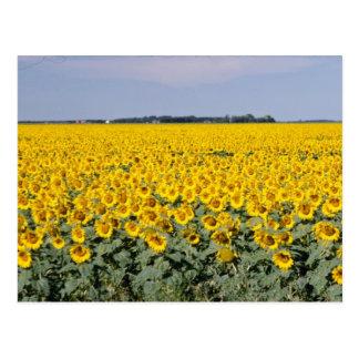 yellow Golden field of sunflowers, Manitoba flower Postcard