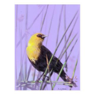 Yellow-Headed Blackbird...Postcard. Postcard