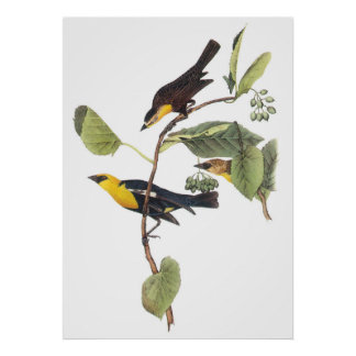 Yellow-headed Blackbird Poster