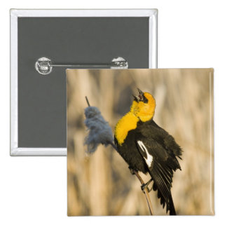 Yellow Headed Blackbird singing in cattails in 15 Cm Square Badge