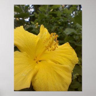 Yellow hibiscus flower, closeup, Maui, Hawaii Poster