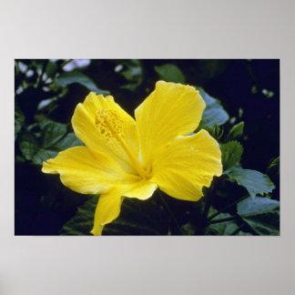 yellow Hibiscus Species flowers Poster