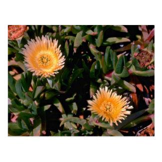 Yellow Ice Plant flowers Postcard