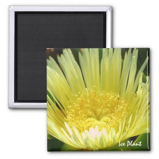 Yellow Ice Plant Magnet