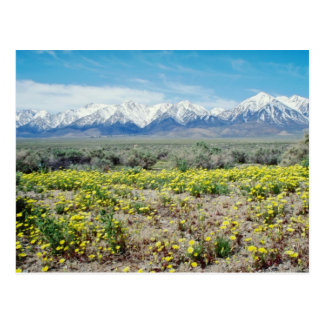 yellow Inyo County - Wildflowers and the Sierras f Post Card
