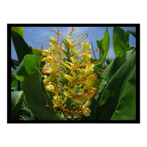 Yellow Kahili Ginger Tropical Flowers Poster Print Print