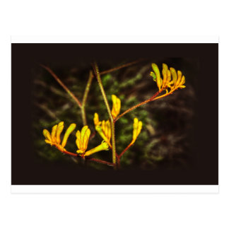 Yellow Kangaroo Paw flower Postcard
