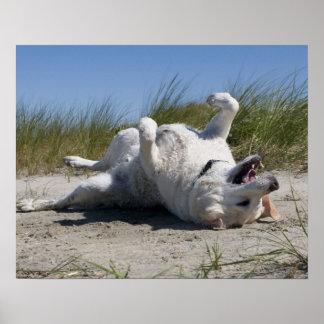 Yellow Labrador Retriever Poster