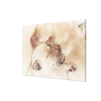 Yellow Labrador Retriever puppies, 10 days old Gallery Wrapped Canvas